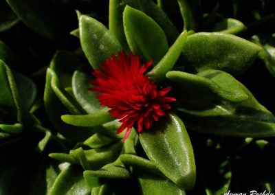 Red Green Cactus
