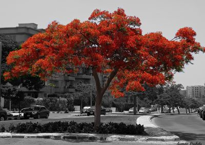 Red Tree with Gray Background